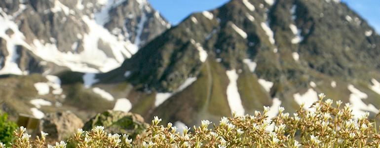 Cambiamenti climatici, l'Università di Pavia nello studio internazionale delle piante alpine